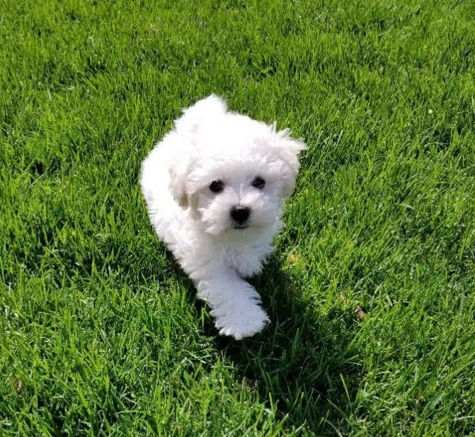 Side view of two panting bichon frise puppies standing stock image